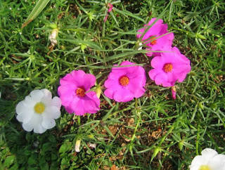 Tanaman Bunga Sutera Bombay