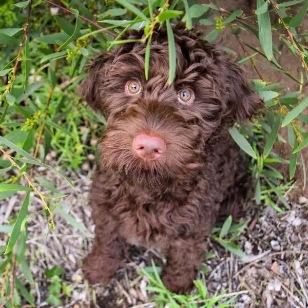chocolate-labradoodle-and-brown-labradoodle-color