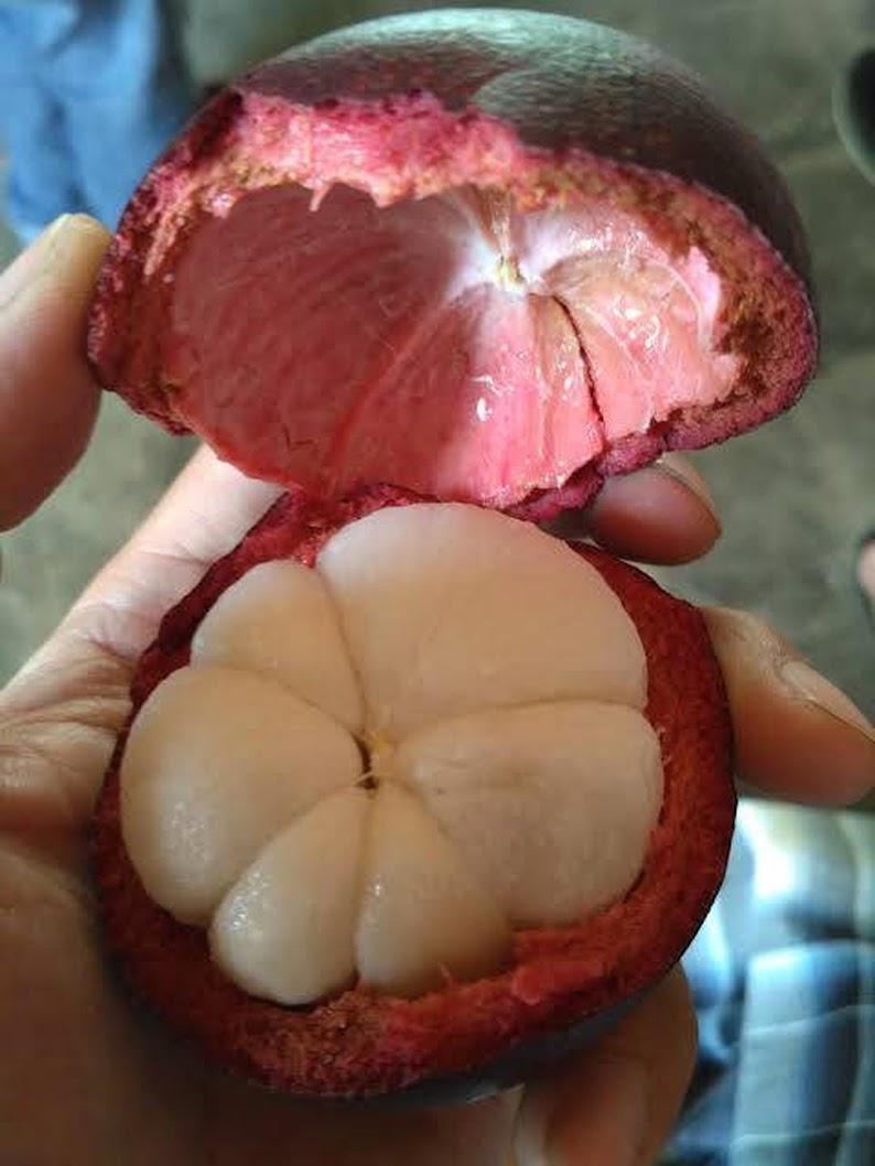 Bibit unggul kualitas buah terbaik MANGGIS SUPER Cepat Berbuah Manis mangis okulasi cangkok Bogor