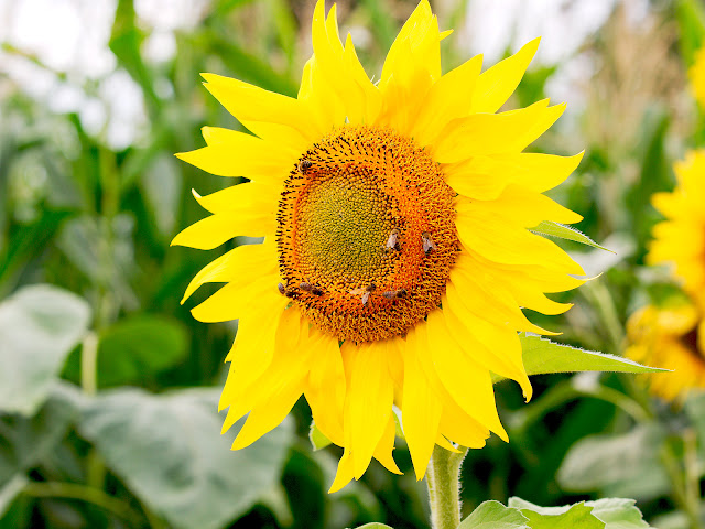 Ein große Sonneblumenblüte. Zahlreiche Insekten sitzen auf auf der Blume.