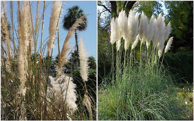 03. Pampass Grass (Alang-alang bunga kemoceng)