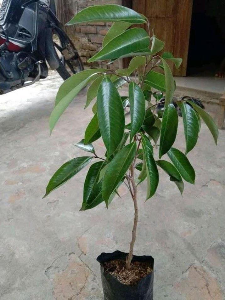 Bibit Tanaman Buah Leci Leche Merah Tabulampot Palembang