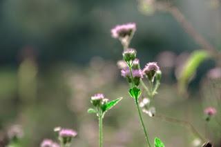Des fleurs en train d'éclore
