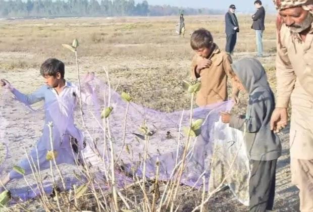 पाकिस्तान के वैज्ञानिकों ने टिड्डियों से निपटने का अनोखा तरीका ढूंढ निकाला, जानकर आप दंग रह जाएंगे