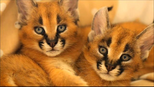 kucing caracal kucing paling eksotis di dunia-7
