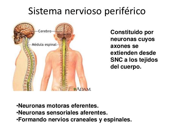 Sistema Nervioso: Sistema nervioso periférico