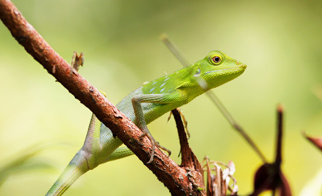 Draco Lizard - Facts, information and pictures 5