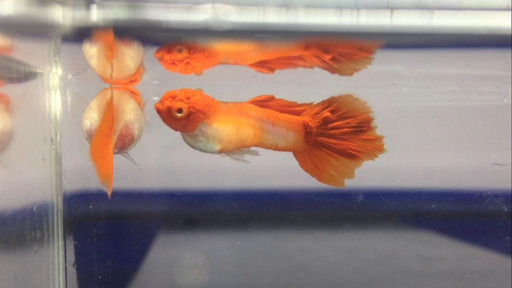 Cara Membedakan Jenis Ikan Guppy Warna Corak Badan Dan Ekor Aquaama