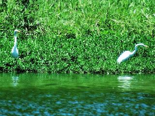 Garças na Barragem Lomba do Sabão - Parque Saint Hilaire, Viamão