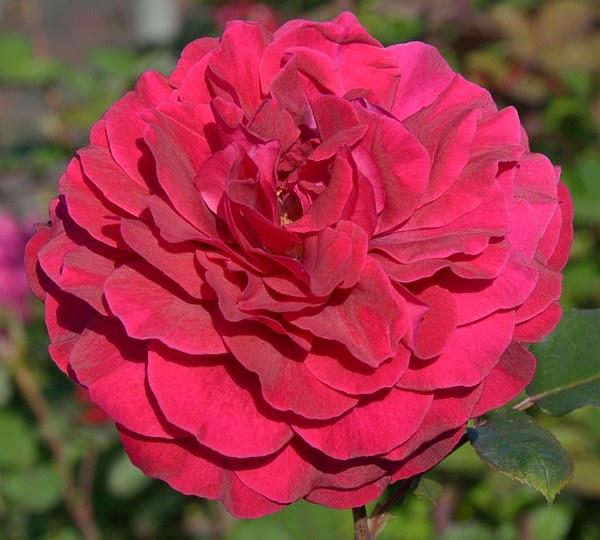 Bellevue сорт розы фото