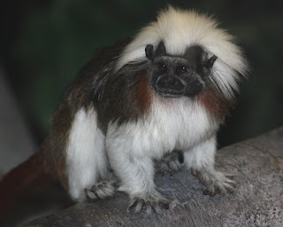 Cotton-top Tamarin Saguinus oedipus ©Trisha Shears