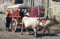 Bir çift öküzün çektiği ve içinde bayanların oturduğu koçu arabası