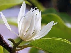 Hoa ngọc lan chữa ho hiệu quả