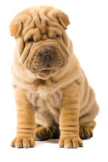 Everything about your Chinese Shar-Pei