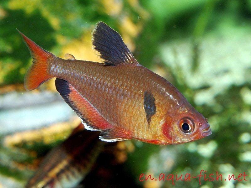 Gambar dan Foto Kenali Profil Dan Cara Memelihara Serta Merawat Ikan Hias Serpae Tetra