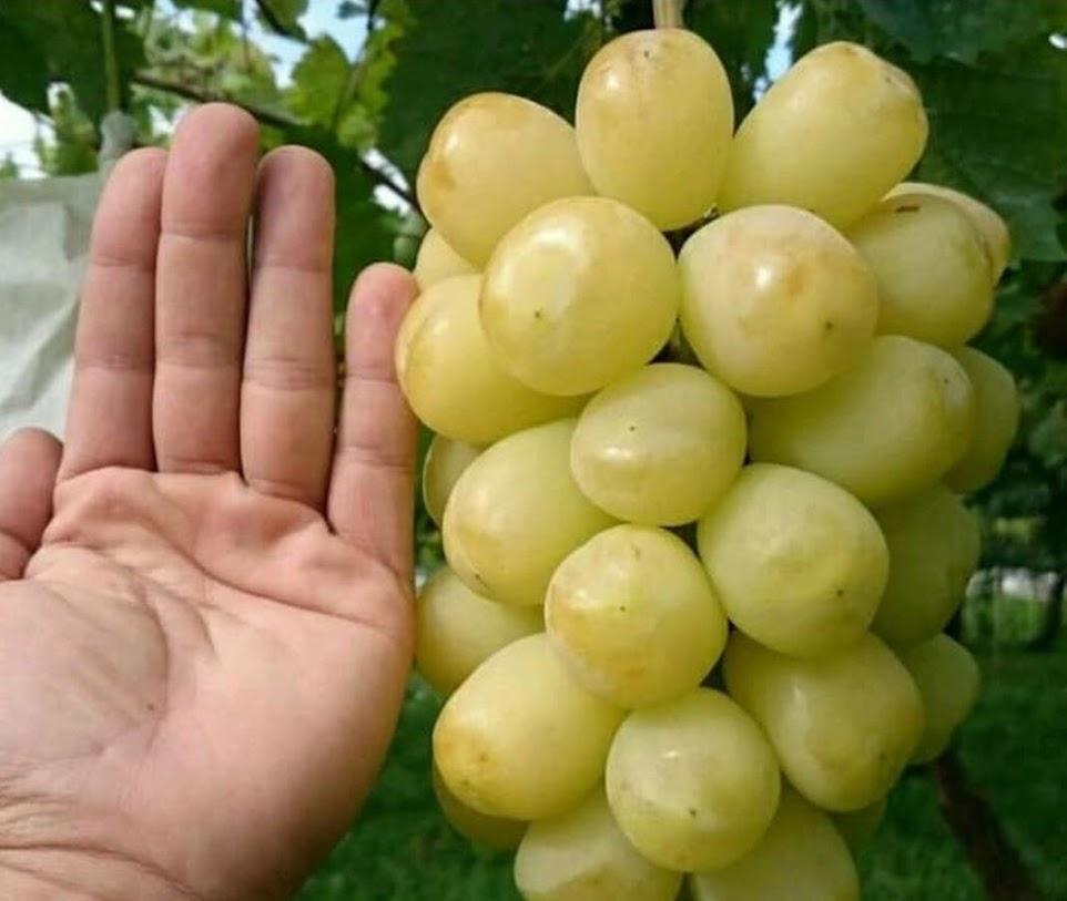 Bibit Anggur Import Treasure Hasil Grafting Samarinda
