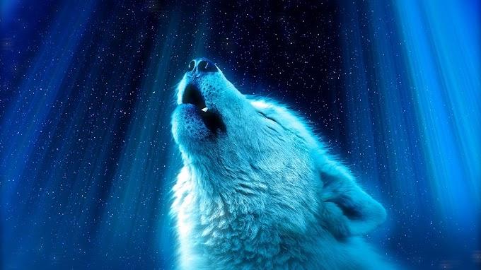 Lobo, Predador, Uivo, Branco, Noite, Aurora Boreal