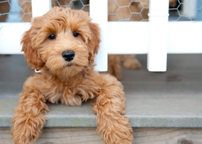7 Common Labradoodle Health Issues