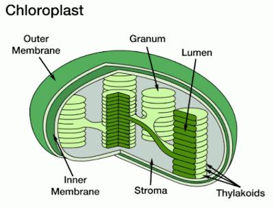 Struktur Kloroplas