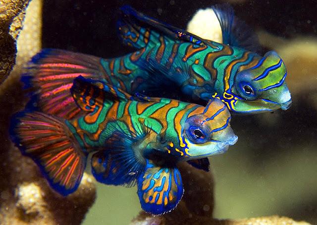 Esta espécie de peixe é mais comumente encontrada no Oceano Pacífico, mas também pode ser encontrado no Oceano Índico e no Caribe.