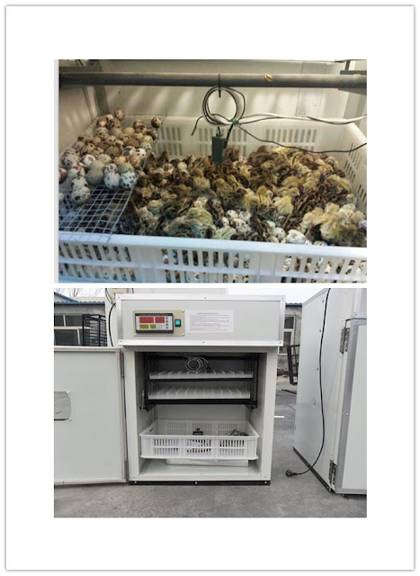 https://www.organicupperegypt.com/2019/07/Hatchtheeggs-thequail.html