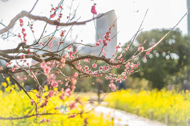 梅,菜の花,キラキラ
