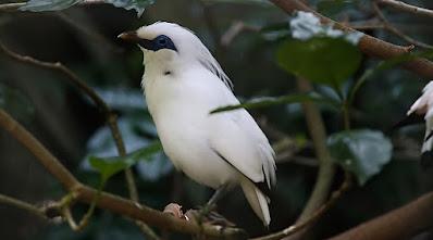 Klasifikasi, Ciri, Habitat & Populasi Jalak Bali. Burung ini memiliki ciri bulu halus berwarna putih di seluruh tubuhnya.