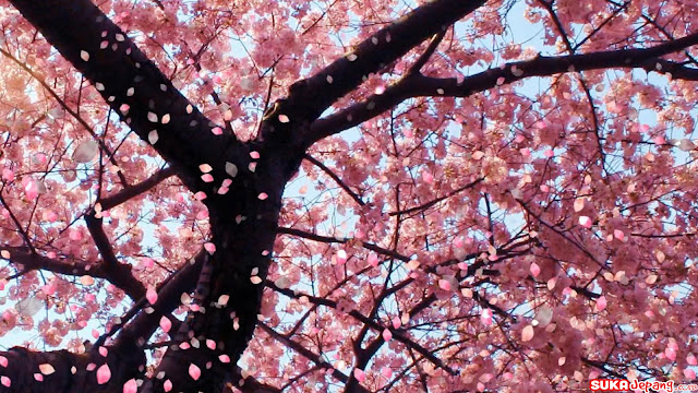 Wallpaper Wallpaper Bunga Sakura Cantik Banget