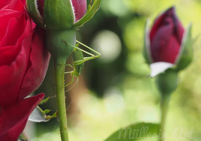 Rosen ©Müllerin Art