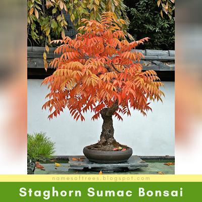 Staghorn Sumac Bonsai