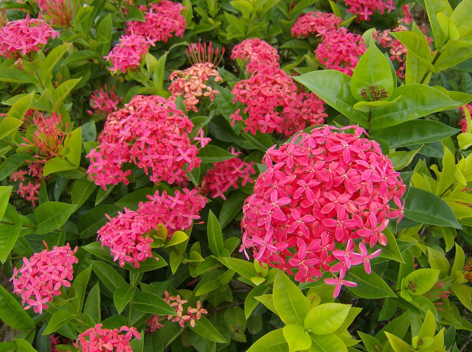Jenis Tanaman Dan Manfaatnya Cara Menanam Dan Merawat Bunga Asoka Dengan Mudah