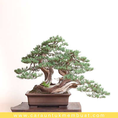 Bonsai Juniperus Occidentalis (Sierra) 9