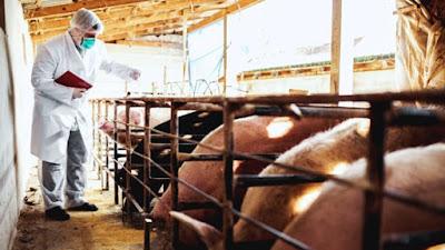 """Nueva gripe porcina con """"potencial pandémico"""" es descubierto en China"""