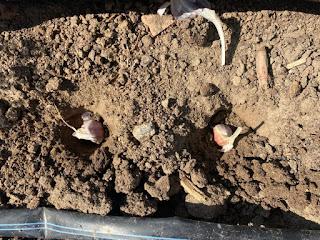 Garlic Cloves in Ground