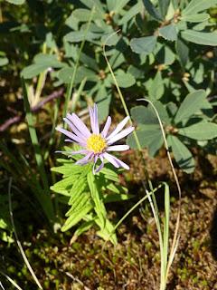 Oclemena nemoralis - Aster des tourbières - Aster nemoralis - Aster des bois