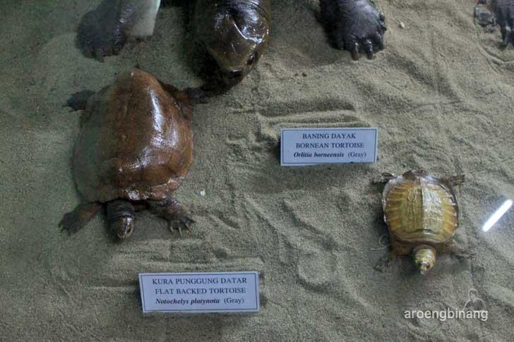 kura-kura punggung datar museum zoologi bogor