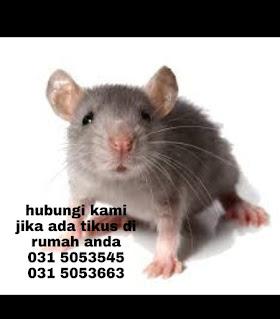 tikus hama berbahaya