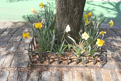 ©PatriciaYoungquist2021. This photo features Daffodils catching some shade from the sun's rays from within a sturdy, masterfully crafted tree pit. I've published a number of posts re this flower type on this blog. They can be read @ https://bit.ly/3tU6ymA  I've also published posts which discuss tree pits and they can be read @ https://bit.ly/3nniZoH