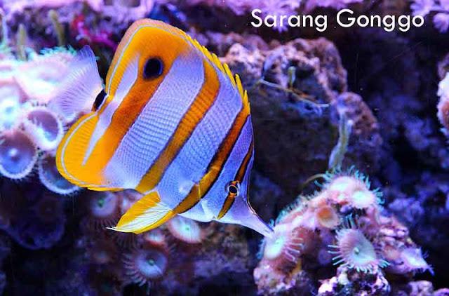 butterflyfish air laut
