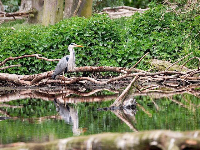 Graureiher spiegelt sich im Wasser