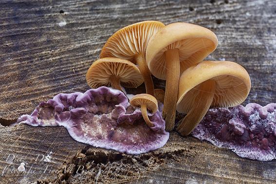 Violetter Knorpelschichtpilz (Chondrostereum purpureum) und Gemeine Samtfussrüblinge (Flammulina velutipes)