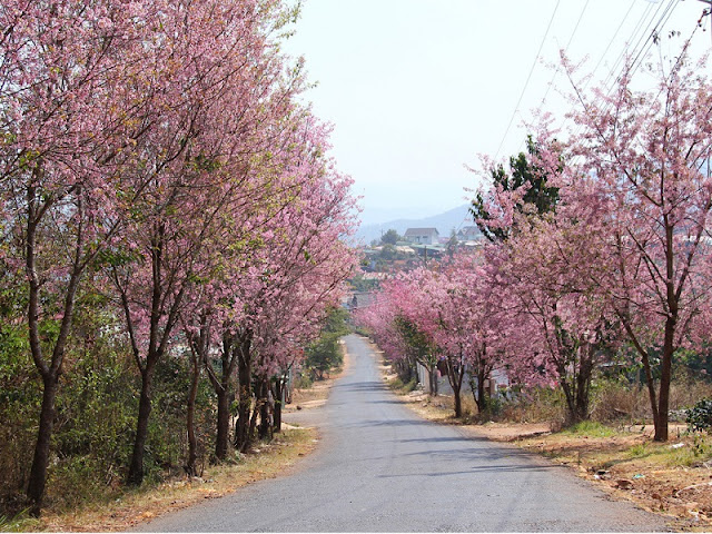 Da Lat cherry blossoms welcome Lunar New Year 1