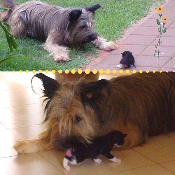Top: a dog curiously sniffing a kitten; bottom: the dog licking the kitten.
