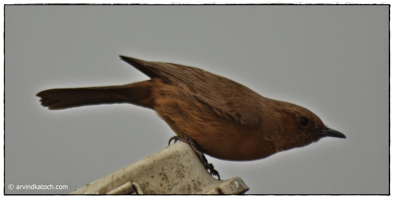 Indian chat, Brown Rock Chat, flight