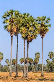 Tal tree তাল গাছ