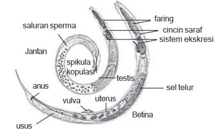 struktur tubuh nematoda