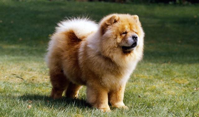 كلب تشاو تشاو