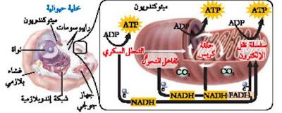 عملية التنفس الخلوي داخل الخلية