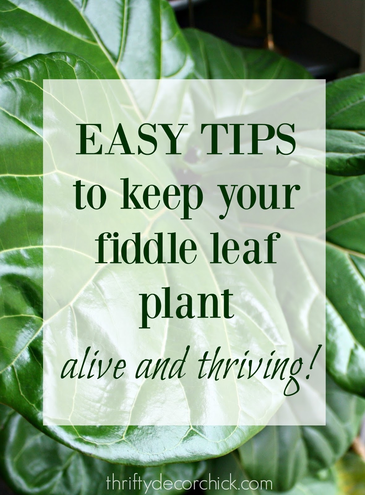 Helpful tips for growing healthy fiddle leaf trees