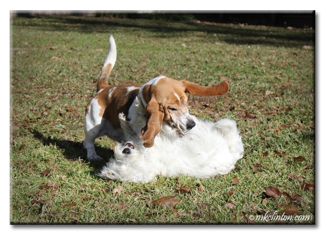 Bentley Basset Hound has Pierre Westie on the ground wrestling